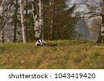 beautiful european badger ... | Shutterstock . vector #1043419420