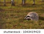 beautiful european badger ... | Shutterstock . vector #1043419423