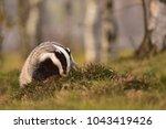 beautiful european badger ... | Shutterstock . vector #1043419426