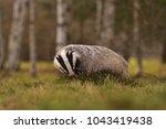 beautiful european badger ... | Shutterstock . vector #1043419438