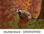 beautiful european badger ... | Shutterstock . vector #1043419450