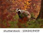 beautiful european badger ... | Shutterstock . vector #1043419459