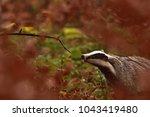 beautiful european badger ... | Shutterstock . vector #1043419480