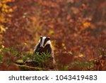 beautiful european badger ... | Shutterstock . vector #1043419483