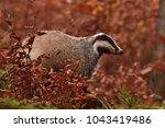 beautiful european badger ... | Shutterstock . vector #1043419486
