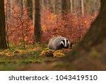 beautiful european badger ... | Shutterstock . vector #1043419510