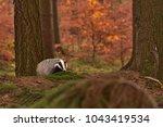 beautiful european badger ... | Shutterstock . vector #1043419534