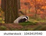 beautiful european badger ... | Shutterstock . vector #1043419540