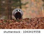 beautiful european badger ... | Shutterstock . vector #1043419558