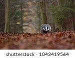 beautiful european badger ... | Shutterstock . vector #1043419564
