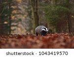 beautiful european badger ... | Shutterstock . vector #1043419570