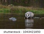 beautiful european badger ... | Shutterstock . vector #1043421850