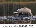 beautiful european badger ... | Shutterstock . vector #1043421853