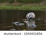 beautiful european badger ... | Shutterstock . vector #1043421856