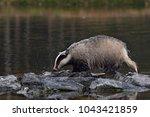 beautiful european badger ... | Shutterstock . vector #1043421859