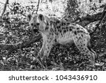 spotted laughing hyena eating... | Shutterstock . vector #1043436910