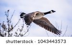 Isolated Flying Canada Goose