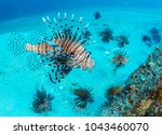 Small photo of An area with many invasive lionfish - Destin, Florida