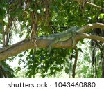 green iguana  iguana iguana ... | Shutterstock . vector #1043460880