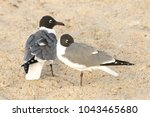 Two Laughing Gulls Resting On...