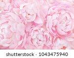 summer blossoming delicate...   Shutterstock . vector #1043475940