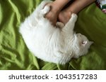 Stock photo white fluffy cat lies at the feet of a girl 1043517283