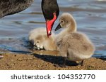 Black Swan Cygnets And Parent