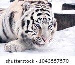 white tiger panthera tigris... | Shutterstock . vector #1043557570