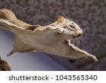 small flying squirrel | Shutterstock . vector #1043565340
