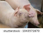 group of hog waiting feed. pig... | Shutterstock . vector #1043572870