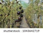blue tomato   fruits in... | Shutterstock . vector #1043642719