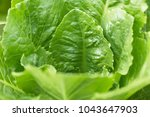 romaine or cos lettuce  lactuca ... | Shutterstock . vector #1043647903