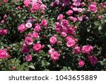 Stock photo rose garden full of beautiful fresh roses 1043655889