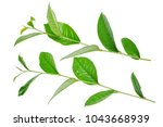 green tea leaf isolated on white | Shutterstock . vector #1043668939