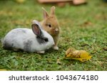Stock photo cute rabbit brown and white rabbit mother and baby walking in the lawn little rabbits are 1043674180