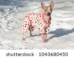 cute american hairless terrier... | Shutterstock . vector #1043680450