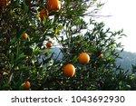mediterranean orange garden. ... | Shutterstock . vector #1043692930
