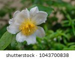 Fried Egg Tree Is A Shrub Wit...