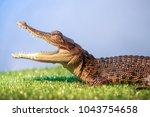 juvenile saltwater crocodile ... | Shutterstock . vector #1043754658