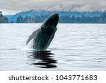 A big whale breaching in the Alaskan ocean near Seward with water splash in a grey cloudy day of summer