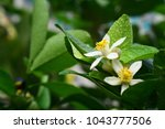 close up of lime flowers ... | Shutterstock . vector #1043777506