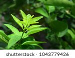 close up of lime leaves and... | Shutterstock . vector #1043779426