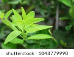 close up of lime leaves and... | Shutterstock . vector #1043779990