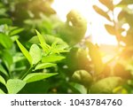 close up of lime leaves and... | Shutterstock . vector #1043784760