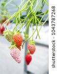 mold strawberry food botrytis... | Shutterstock . vector #1043787268
