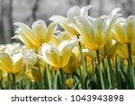 amazing tulips blooming in the...   Shutterstock . vector #1043943898