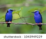 two red legged honeycreeper... | Shutterstock . vector #1043949229