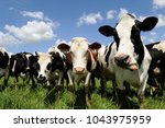 Dairy cows of norman breed at...