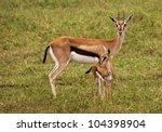 Thompson Gazelle With Baby In...