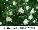 Stock photo beautiful roses in the garden in the afternoon 1044028990